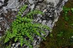 Alpine Woodsia (Woodsia alpina)
